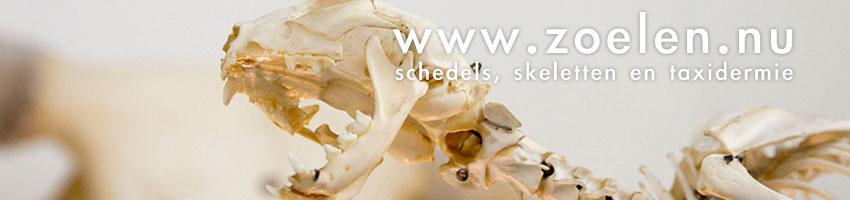 schedel dier te koop